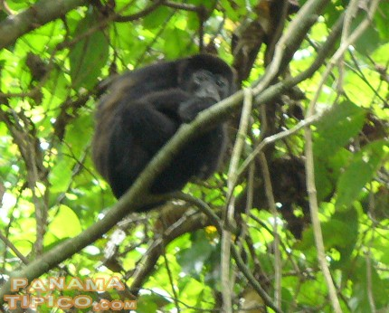 [Howler monkey native to the island. There are four different species of monkeys in Barro Colorado.]