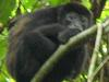 [Thumbnail: Howler monkey at Barro Colorado]