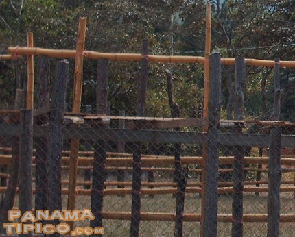 [Bamboo fences contain the bulls and the bullfighters into an enclosed area.]