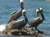 [Thumbnail: Pelicans taking a sunbath on the Chiriqui Coast.]
