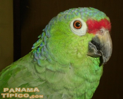 [Red-fronted parrot of the genus Amazona]