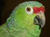 [Thumbnail: Red-fronted parrot]