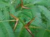 [Thumbnail: Thorny bush at the Macana's Wetlands, Panama]