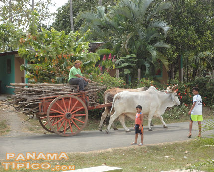 [Oxen-pulled carts are common sights in this area of Panama.]