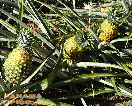 [Pineapple is one of the main products grown in the area.]