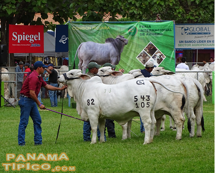[Being Azuero one of the most important cattle raising areas in Panama, bovine exhibitions play a big role in this event.]