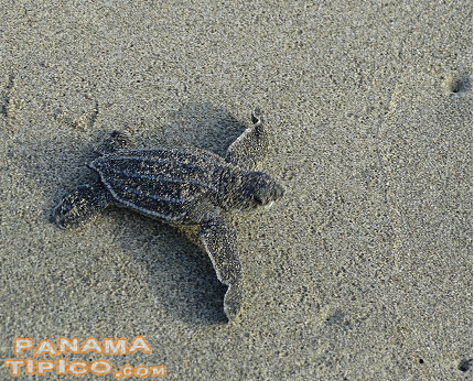 [At night, we saw many leatherbacks laying eggs, but didn't take pictures as the flash stresses them out. However, at dawn, we were rewarded by the sight of many newborns racing to the sea.]