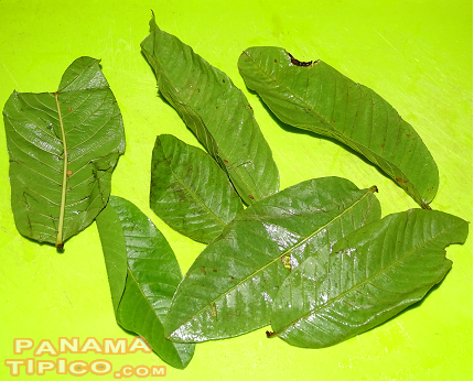 [The most common recipe includes guanabana leaves.]