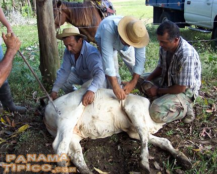 [A calf being marked and vaccinated]