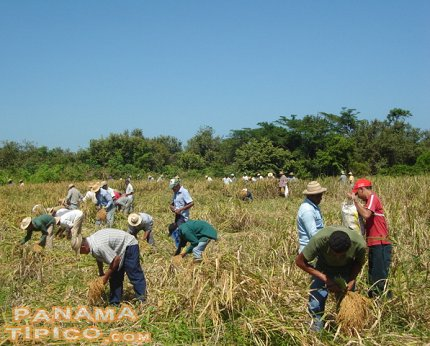 [From a very early hour, the workers arrive to begin the harvesting the rice.]